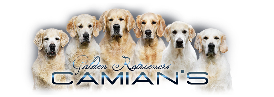 Golden retriever - Camian's