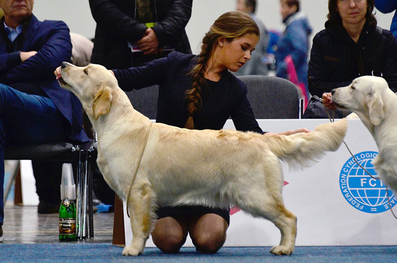 golden retriever at WDS in Germany
